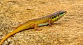 Yellow-throated plated lizard.jpg