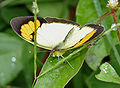 Yellow Orange Tip (Ixias pyrene) in Hyderabad, AP W IMG 0358.jpg