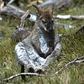 Young-male-wallaby-in-Tasmania.jpg
