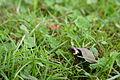 Young bog turtle (18741505585).jpg
