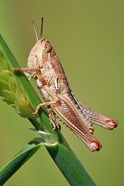 Nymphal grasshopper