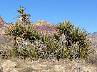 Yucca schidigera - Image: Yucca schidigera 17
