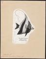 Zanclus cornutus - 1700-1880 - Print - Iconographia Zoologica - Special Collections University of Amsterdam - UBA01 IZ13500503.tif