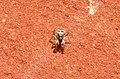 Zebra-spider (17202533292).jpg