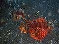 Zebra Lionfish (16 cm) 1.png