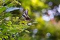 Zebra swallowtail (43538628281).jpg