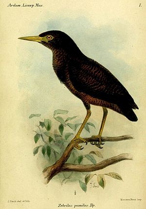 1855 in birding and ornithology -  Zigzag heron. Plate by Joseph Smit in the Bulletin of the Liverpool Museum This species was transferred to a new genus Zebrilus erected by Charles Lucien Bonaparte in 1855