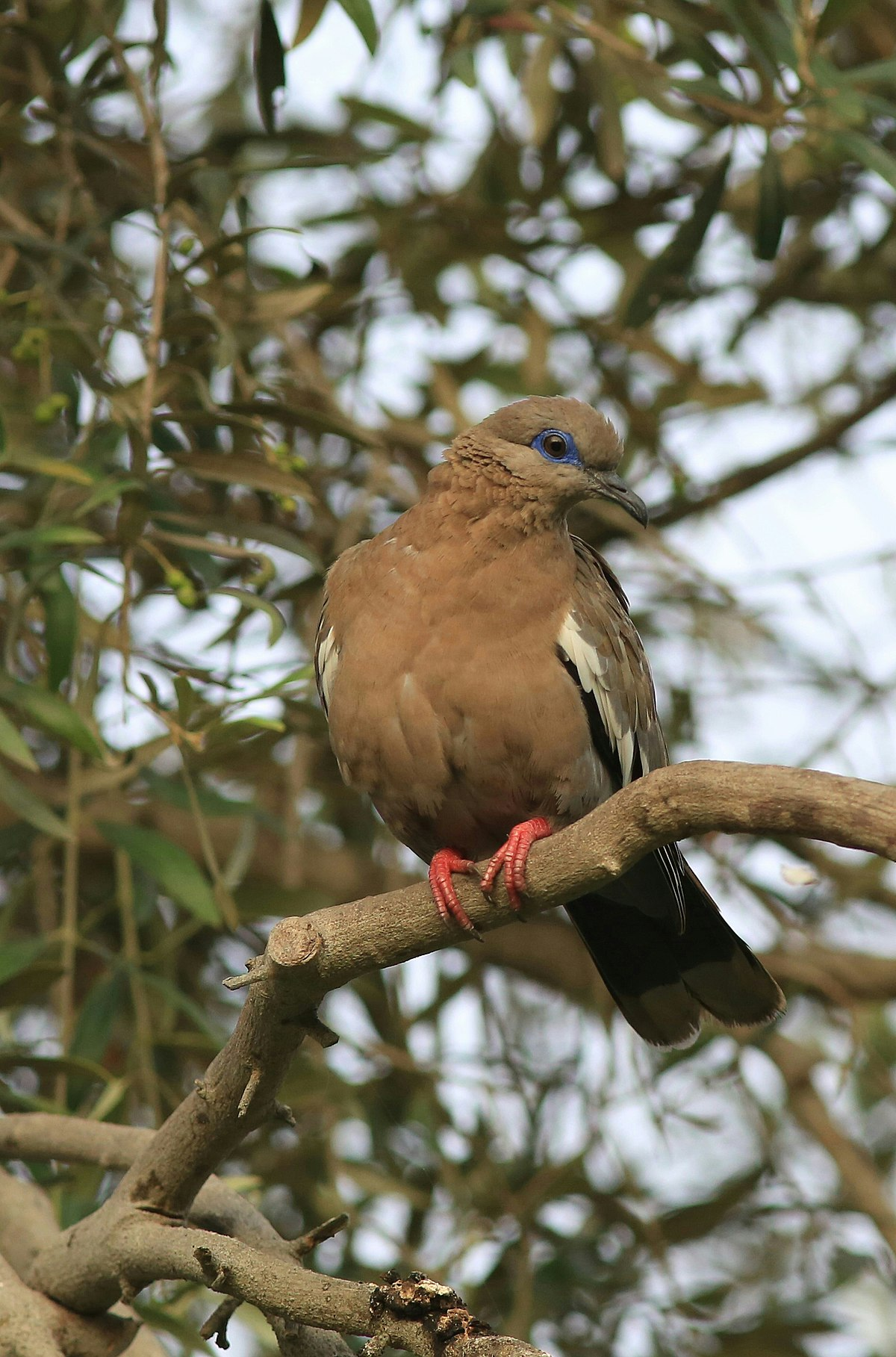 West Peruvian Dove Wikipedia