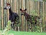 Zoo-okapi-ffm001.jpg