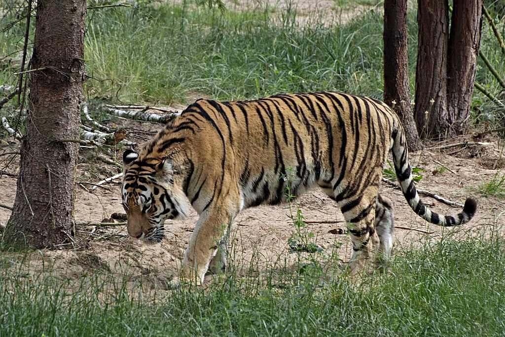 """Zoo Ebw Sibirischer Tiger DSF5667"" by Eva K. - Eva K.. Licensed under GFDL 1.2 via Wikimedia Commons - https://commons.wikimedia.org/wiki/File:Zoo_Ebw_Sibirischer_Tiger_DSF5667.jpg#/media/File:Zoo_Ebw_Sibirischer_Tiger_DSF5667.jpg"