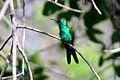 Zun zun, smeraldo cubano, Chlorostilbon ricordi 3.jpg