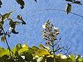 """""""chapéu-de-couro"""" - Salvertia convallariodora A.St.-Hil. - Vochysiaceae 04.jpg"""