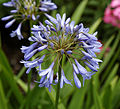 'Agapanthus' West Garden Hatfield House Hertfordshire England.jpg