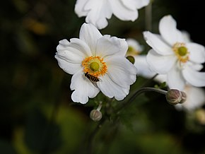 Description de l'image 'Anemone hupehensis' Capel Manor Gardens Enfield London England 2.jpg.
