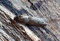 (1025) Tortricodes alternella (16706837526).jpg