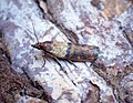 (1479) Indian Meal Moth (Plodia interpunctella) (34417355422).jpg