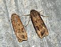 (2091) Dark Sword-grass (Agrotis ipsilon) - Flickr - Bennyboymothman.jpg