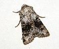 (2164) Broad-barred White (Hecatera bicolorata) (4799449821).jpg