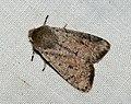 (2182) Small Quaker (Orthosia cruda) (4442348648).jpg