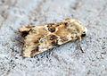 (2352) Dusky Sallow (Eremobia ochroleuca) (14724040931).jpg
