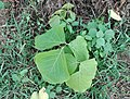 (Butea superba) sapling in the Eastern Ghats near Samedha.jpg