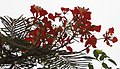 (Delonix regia) Forest flame flowers at Kambalakonda.JPG
