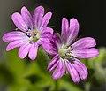(MHNT) Geranium dissectum - Flowers.jpg