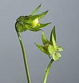 (MHNT) Viola arvensis - immature fruits.jpg