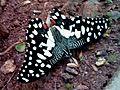 (Papilio demoleus) butterfly at Madhurawada 01.jpg