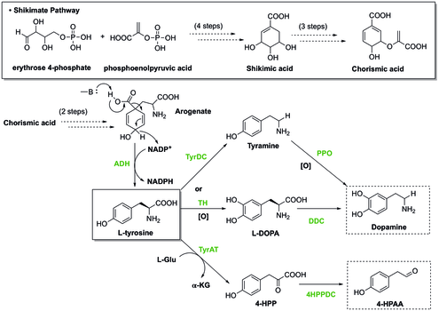 Synthesis of the two substrates: dopamine and 4-HPAA