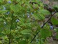 ¿ Myosotis arvensis ? (7983119462).jpg