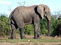 Éléphant (non détouré).jpg