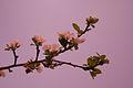 Õitsev õunapuu, Tiina.jpg