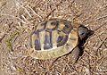 Балканская черепаха - Testudo hermanni - Hermann's tortoise - Шипоопашата костенурка - Griechische Landschildkrote (28874495846).jpg