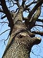 Весняне дерево у Помірках.JPG