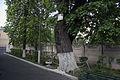 Вікове дерево клена-явора 09.jpg