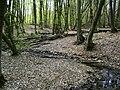 Грабняк в улоговині (Межигірьке лісництво).jpg