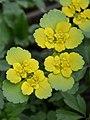 Жовтяниця черговолиста (Chrysosplenium alternifolium).jpg