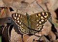 Краеглазка эгерия - Pararge aegeria - Speckled wood - Пъстро парагре - Waldbrettspiel (32147540046).jpg