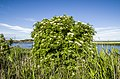 Куст цветущий калины на фоне озера - panoramio.jpg