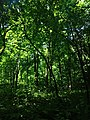 Ліс поблизу с. Осташки.jpg
