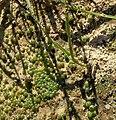 Неизвестное растение в Лошанах.jpg