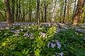 Святі Гори, квіти у лісі 03.jpg