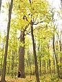 Свіріпчаний дуб, на фоні звичайного лісу.jpg