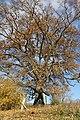 Споменик природе - стабло храста цера у Доњој Црнући крај Горњег Милановца 06.jpg