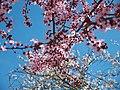 Цветение вишни мелкопильчатой 2.jpg