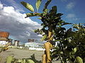 Черноплодная рябина 3.jpg