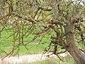 Яблоня - panoramio (7).jpg