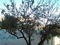 شجرة لوز~.jpg