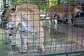 شیر در باغ وحش مشهد-lion in zoo -iran 01.jpg